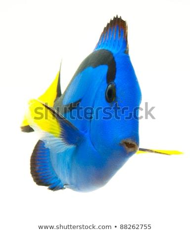 Wedgetailed Blue Tang (Paracanthurus hepatus)  Stock photo © cynoclub