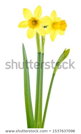 Yellow two flowers narcissus  Stock photo © yoshiyayo