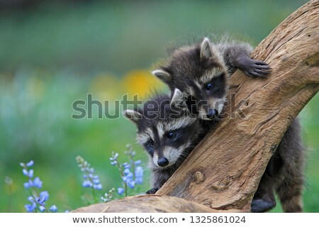 Young Racoon Stock photo © michelloiselle