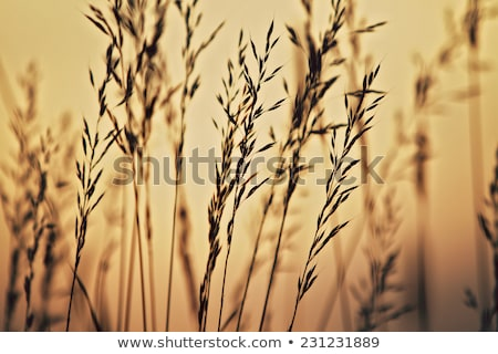Windy Wild Grass  Stock photo © michelloiselle