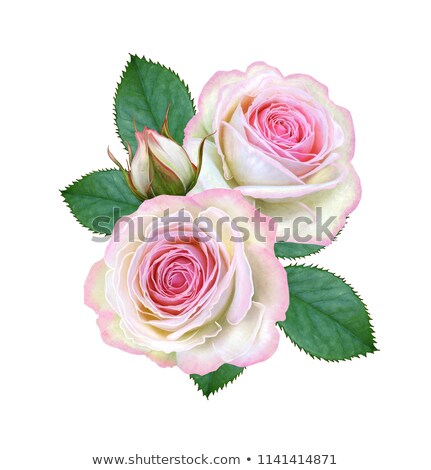 Group of pink roses with green leafes Stock photo © boroda