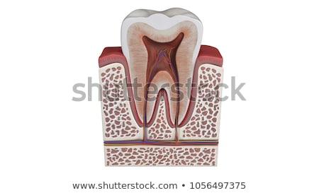 emberi · fog · struktúra · vér · egészség · száj - stock fotó © janpietruszka