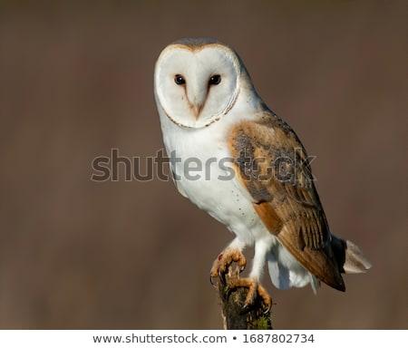 celeiro · coruja · parede · de · tijolos · pássaro · pena · retrato - foto stock © scooperdigital