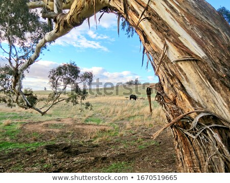 Australian Rural Scene Gum Trees and Cows Stock photo © sherjaca