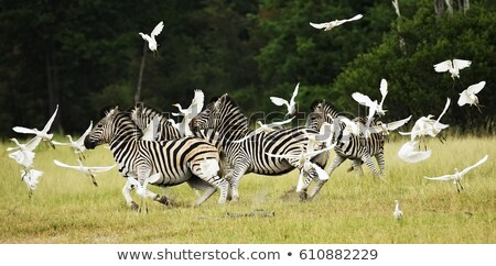 Zebras (Equus burchellii) Stock photo © ajlber