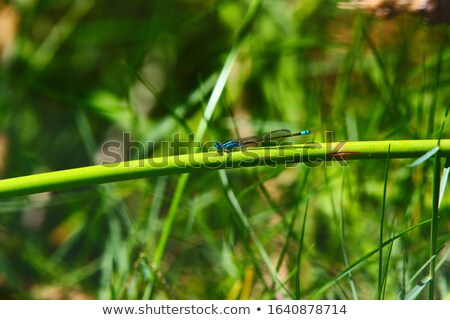 Blue Damselfly Look at You Stock photo © Kenneth_Keifer