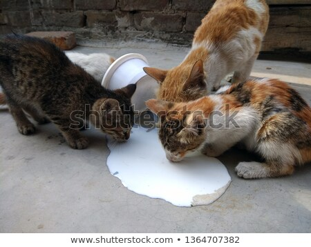 kitten drinking milk stock photo © Sarkao