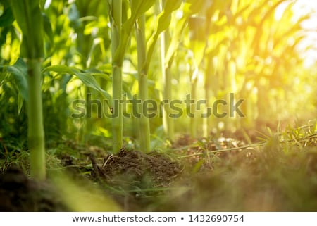 Closeup maize background Stock photo © Anna_Om