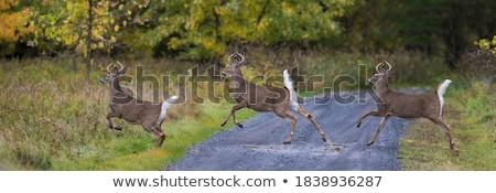 Szarvas fut természet fiatal fehér színek Stock fotó © dagadu