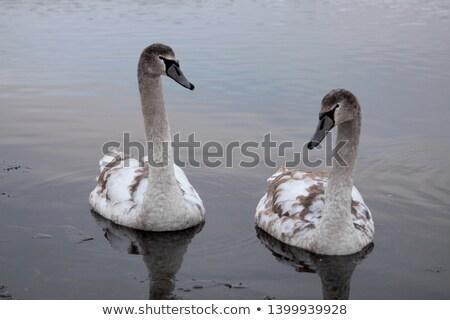 dois · zebras · lagoa · natureza · cabelo · preto - foto stock © hofmeester