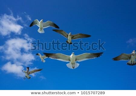 Vliegen zeemeeuw zee vogel beneden Stockfoto © lunamarina