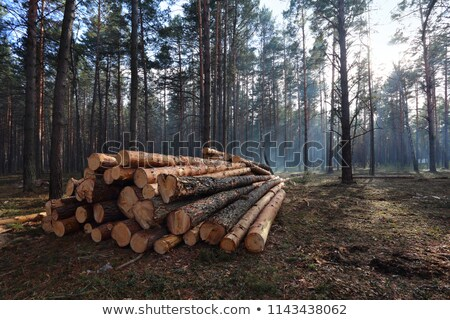 pine logs in spring forest stock photo © tainasohlman