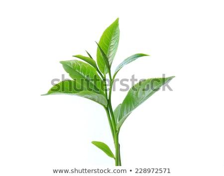 Chá plantas raios de sol natureza folha campo Foto stock © Mikko