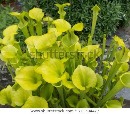 黄色 トランペット 肉食の 植物 トラップ 餌食 ストックフォト © lovleah