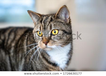 macska · profil · gyönyörű · csíkos · barna · sekély - stock fotó © ajn