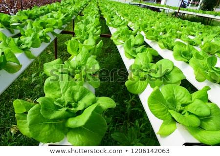 成長 · パプリカ · キュウリ · 温室 · 農業 · 業界 - ストックフォト © art9858
