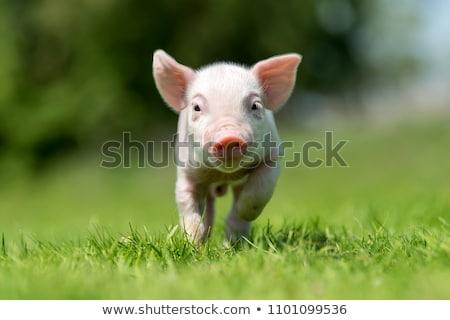 небольшой · большой · ребенка · матери · фермы · свинья - Сток-фото © smartin69