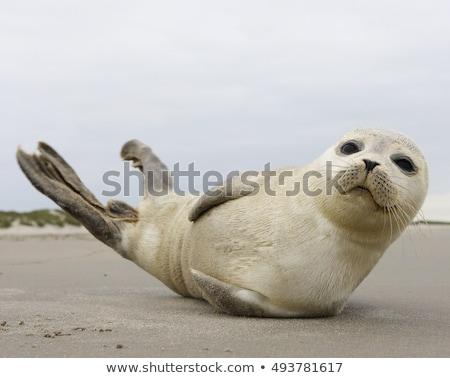 Common seal, Phoca vitulina Stock photo © Arrxxx