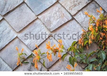 yellow blossom at the stone wall stock photo © olandsfokus
