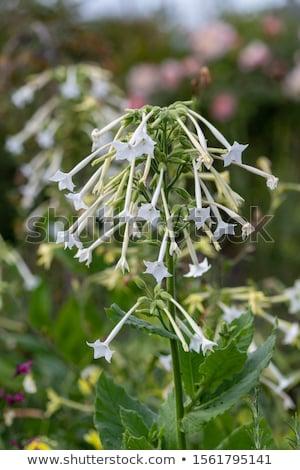 цветения табак саду завода белый трава Сток-фото © rbiedermann
