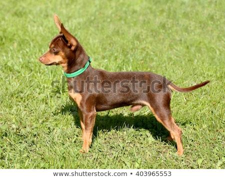 sıçan · yeşil · hayvan · Evcil · sevimli · kahverengi - stok fotoğraf © capturelight
