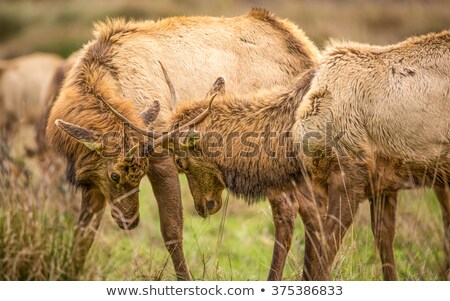 Elk, Juvenile Male, Color Image, California, USA  Stock photo © Backyard-Photography