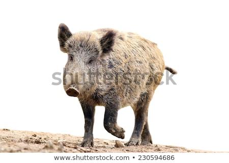full length wild boar over white Stock photo © taviphoto
