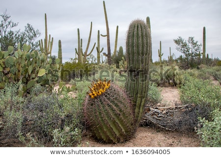 A desert with cacti Stock photo © bluering