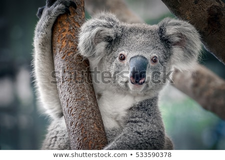 cute · koala · orso · bianco · illustrazione · sorriso - foto d'archivio © bluering