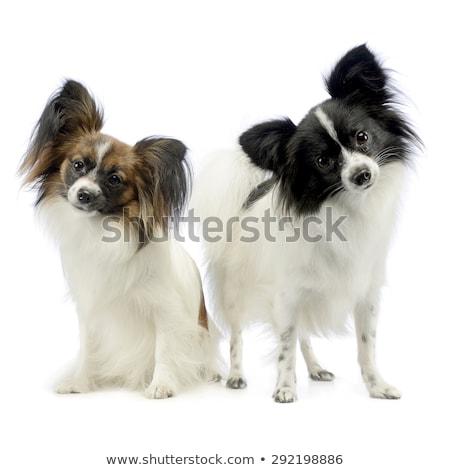 two cute papillon turning heads in white photo studio Stock photo © vauvau