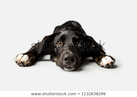 mixed breed black dog in a white background stock photo © vauvau