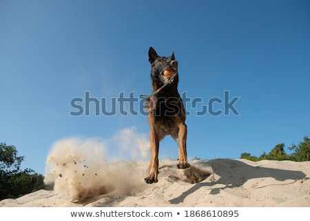 Pastore belga cane palla sabbia capelli esecuzione Foto d'archivio © AvHeertum