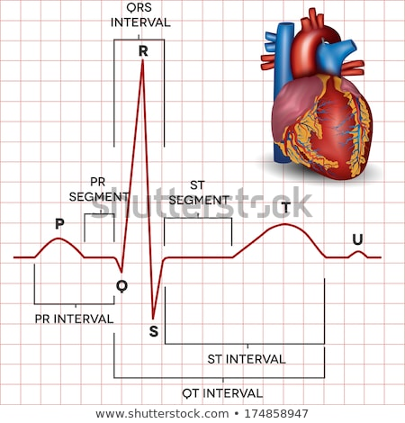 Human heart normal sinus rhythm and heart anatomy Stock photo © Tefi