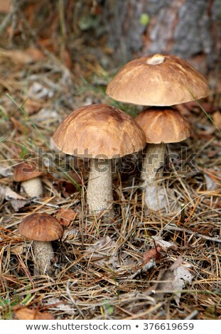 small mushroom grows in forest stock photo © romvo