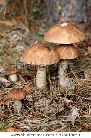 ブラウン · キャップ · ヤマドリタケ属の食菌 · 成長 · 森林 · キノコ - ストックフォト © romvo