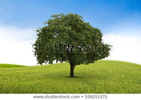 Tree alone in a sunny green field Stock photo © alphaspirit