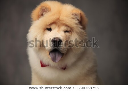 elegant chow chow wearing red bowtie winking and panting Stock photo © feedough