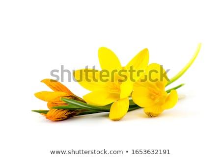 Sarı çiğdem beyaz bahar güzellik bitki Stok fotoğraf © bdspn