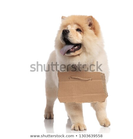 panting chow chow with carton sign looks up to side Stock photo © feedough