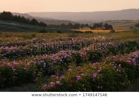 A beautiful vegetable plantation among the hills Stock photo © galitskaya