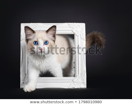 Blue eyed ragdoll cat  Stock photo © CatchyImages