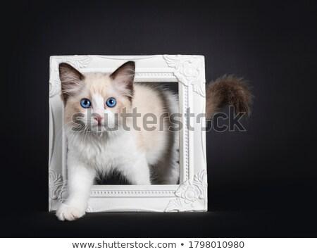 mavi · kedi · kedi · yavrusu · yalıtılmış · siyah · kırmızı - stok fotoğraf © CatchyImages