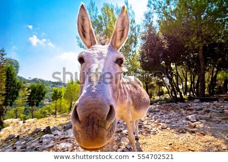 dalmatiër · eiland · ezel · natuur · dier · wild - stockfoto © xbrchx