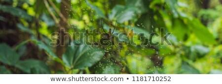 a large spider with yellow stripes on a cobweb in the garden spider garden spider lat araneus kind stock photo © galitskaya