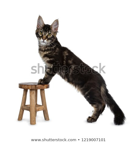 Handsome dark black tabby Maine Coon cat Stock photo © CatchyImages