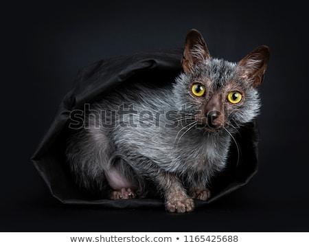 Zoete weerwolf kat kitten vergadering grijs Stockfoto © CatchyImages