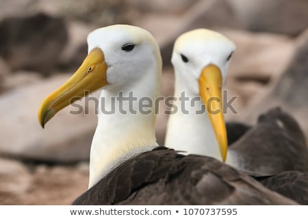 Galapagos Albatross aka Waved albatrosses on Espanola Island, Galapagos Islands Stock photo © Maridav