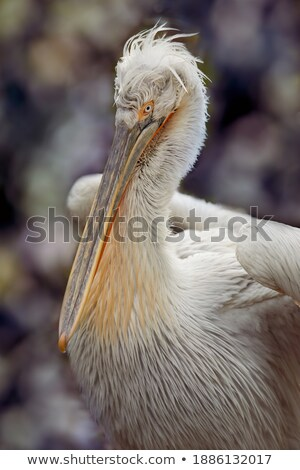 majestic Dalmatian pelican Stock photo © Witthaya