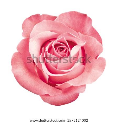 розовый · роз · листьев · изолированный · студию - Сток-фото © ivonnewierink