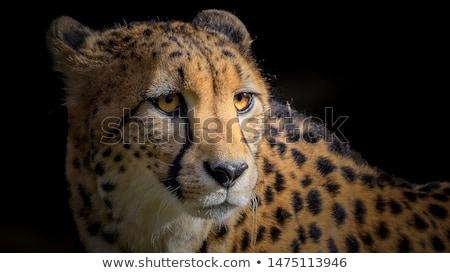 Cheetah Portrait Stock photo © cosma